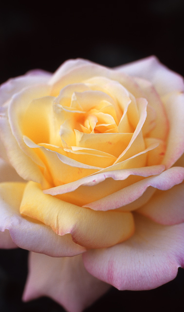 おいしそうな薔薇