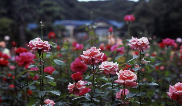 君は薔薇より美しい。