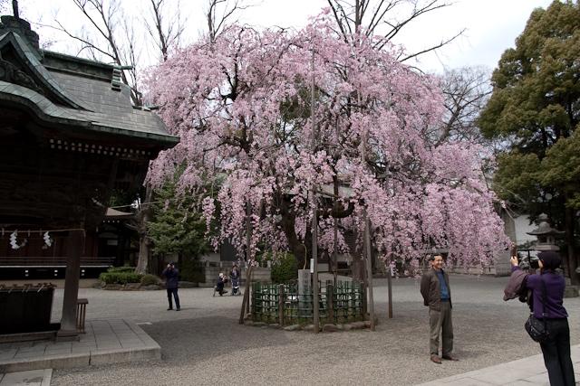しだれ桜の前で記念撮影