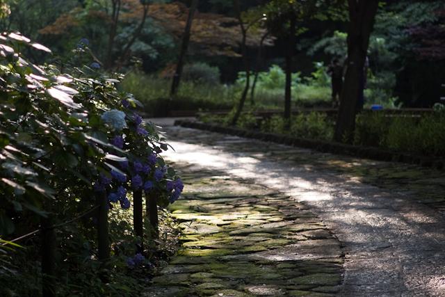 紫陽花小道。