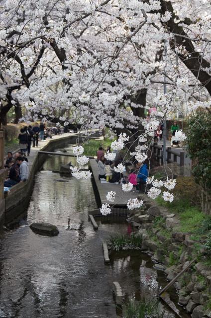 二ヶ領用水の桜並木